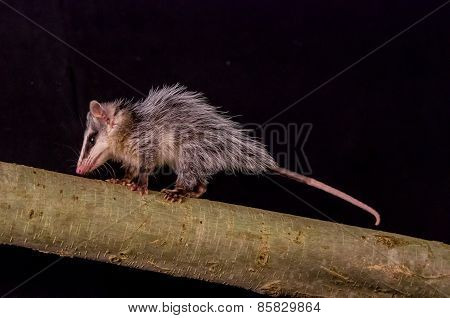 andean white eared opossum on a branch zarigueya