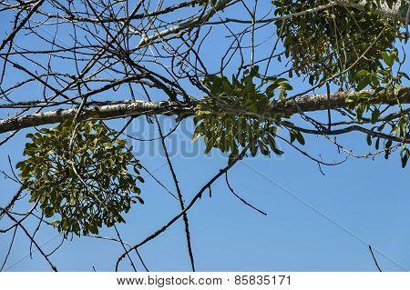 White Mistletoe (Viscum album) medicinal plant