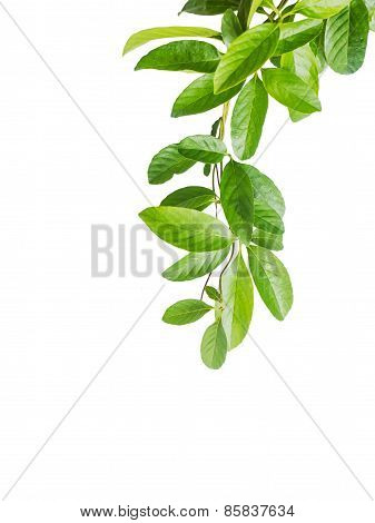 Leaves Of Creeper Plant Isolated