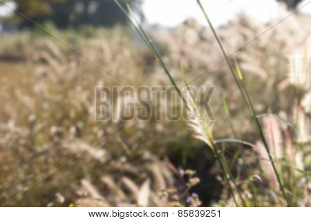 Blurry Defocused Image Of Grass Flower In The Paddy Field