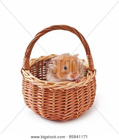 hamster in a basket isolated on a white background