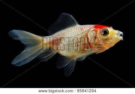 Goldfish Eating Food