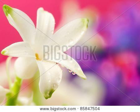 White Hyacinth Close Up