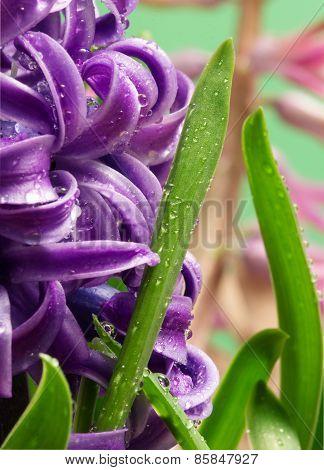 hyacinth flower close up