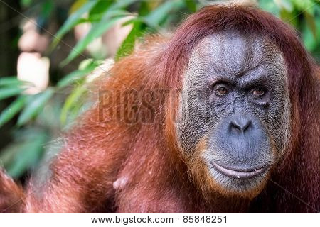 Close Up Of Orangutan