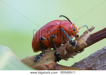 Red Brazilian Beetle