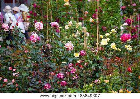 Sale Of The Blossoming Rosebushes