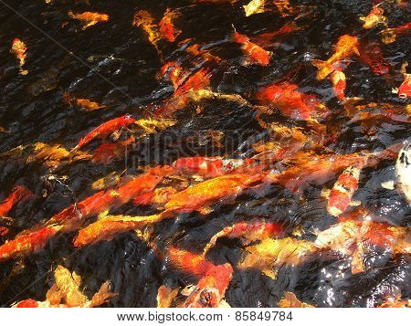 Koi Fish Pond Lake