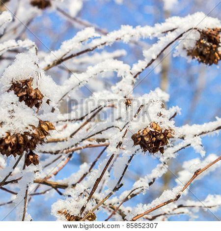 Puzyreplodnik kalinolistny, Physocarpus opulifolius