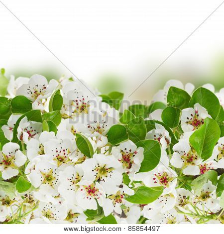Blossoming Apple tree Flowers