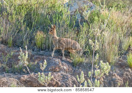 Female Klipspringer