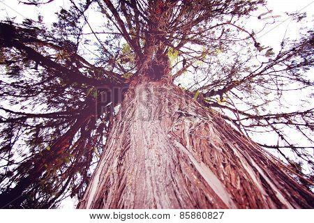 Huge Tree Near Tashiding Monastery, Sikkim, India. Retro Filter.