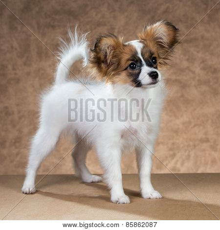 Papillon Puppy Standing On A Brown Background