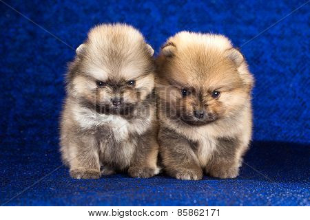Two Pomeranian Puppies Age Of 1,5 Month Over Blue Background