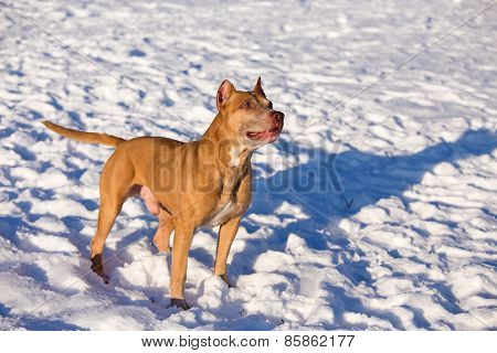 American Pit Bull Terrier In Snow
