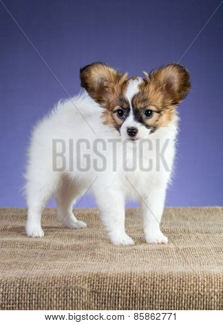 Portrait Papillon Puppy