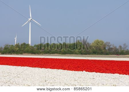Red And White Tulip Fields With Wind Turbines In The Netherlands