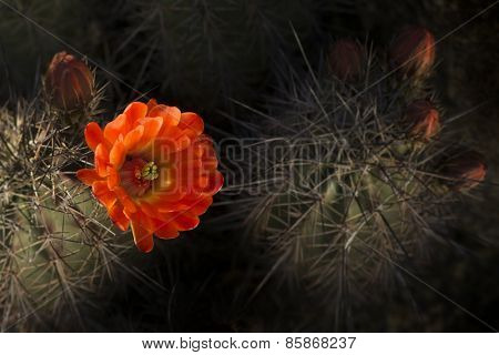 Desert bloom - beautiful red flower barrel cactus