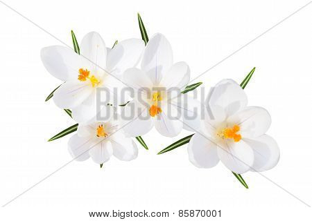 White Spring Crocus Flowers Isolated Top View
