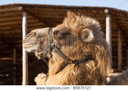 The camel on a farmstead stands against a log house