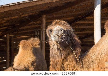 The camel on a farmstead eats a grass