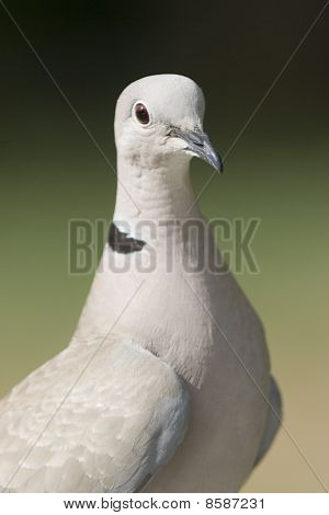 Eurasian Collared Dove Portrait
