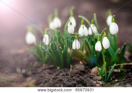 Spring Flower. Galanthus