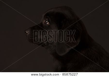 Labrador Retriever Black Puppy Isolated Over Black Background