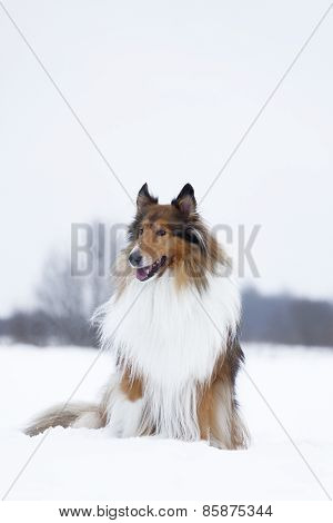 Rough Collie In Winter Forest