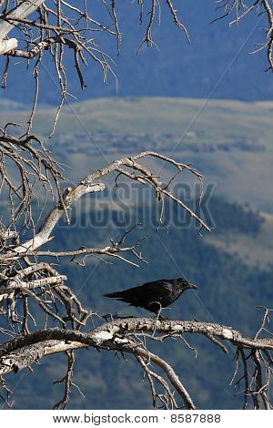 Raven In Tree