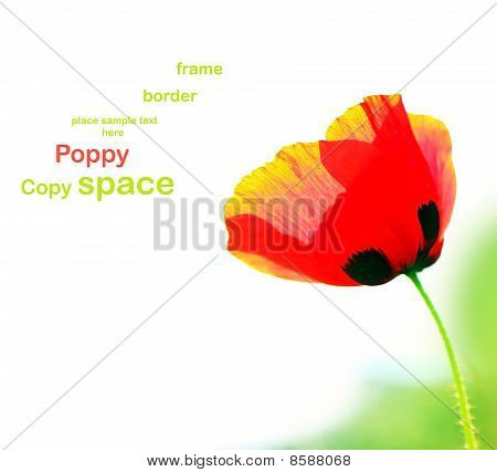 Poppy Isolated On White
