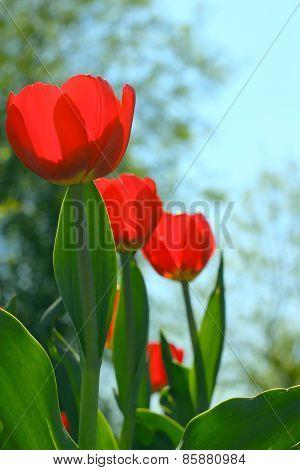 Red Tulips In The Garden