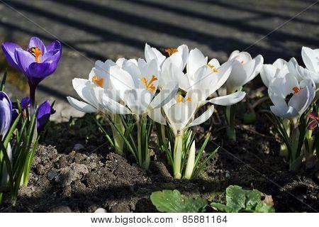 White Crocuses In Spring Garden
