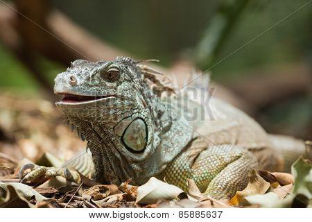 Green iguana on dead leaves
