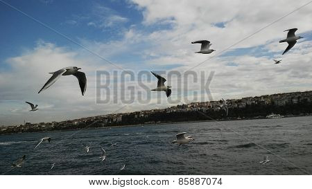 Seagulls in Bosphorus Strait