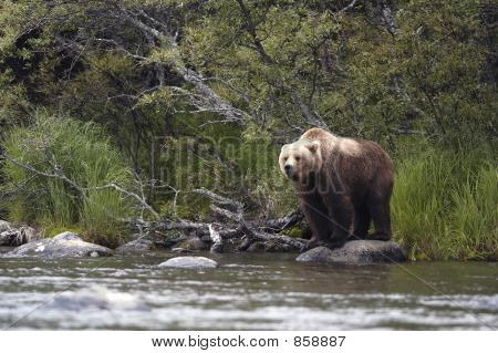 Brown bear standing on rock in Brooks River