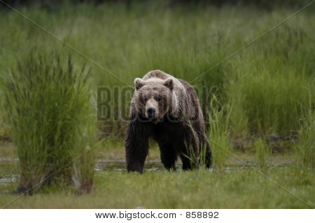 Brown bear walking out of grass