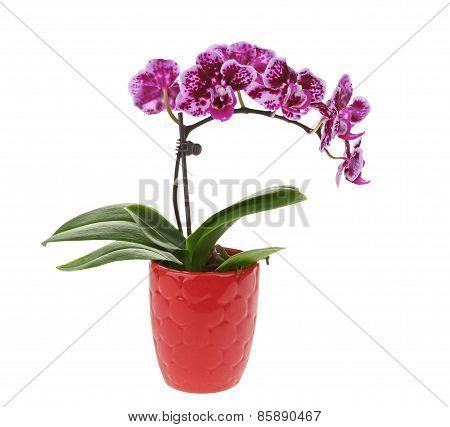 Purple Orchid Flower in Pot