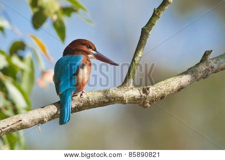 white throated kingfisher perched on a branch, Bardia, Nepal