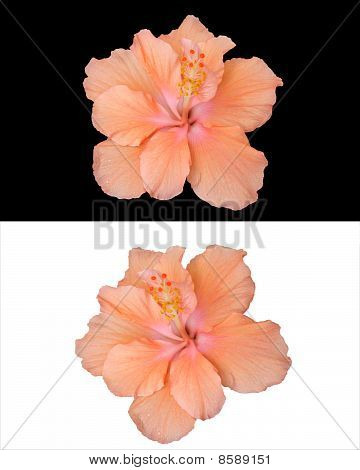 Hibiscus flower isolated 2 styles