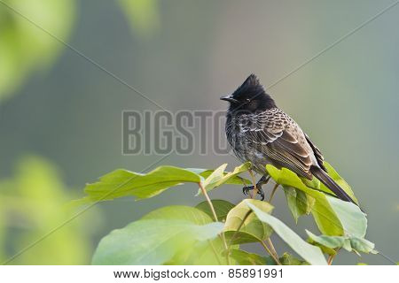 Red-vented Bulbul on a twig, at Bardia, Nepal