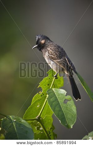 Red-vented Bulbul Bird In Nepal