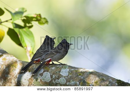 Couple Of Red-vented Bulbul Bird In Nepal.