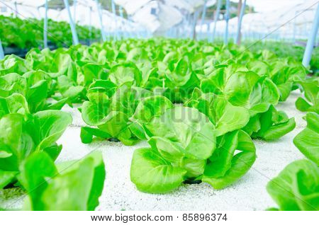 Green Cos Lettuce/ Butterhead - Hydroponics Vegetable Farm.