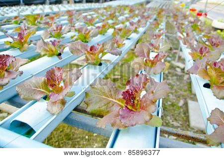 Red Batavia Vegetable In Hydroponic.