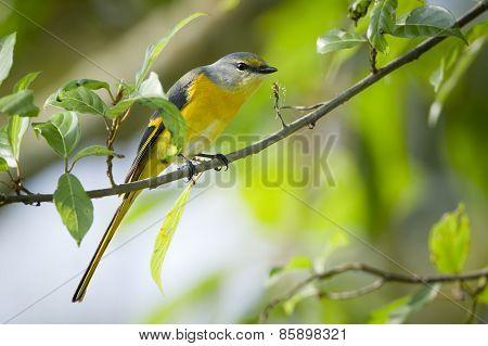Long-tailed Minivet Bird Female In Nepal