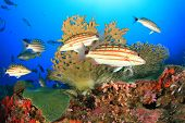 pic of red snapper  - Feeding frenzy as Chequered Snapper fish hunt - JPG