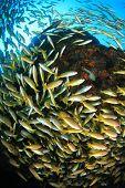 image of bigeye  - Bigeye Snapper fish - JPG