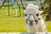 foto of lamas  - Portrait of a lama on farm - JPG