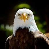 stock photo of bald head  - The Bald Eagle  - JPG